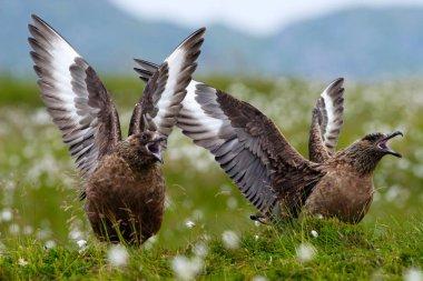 birds in cotton grass