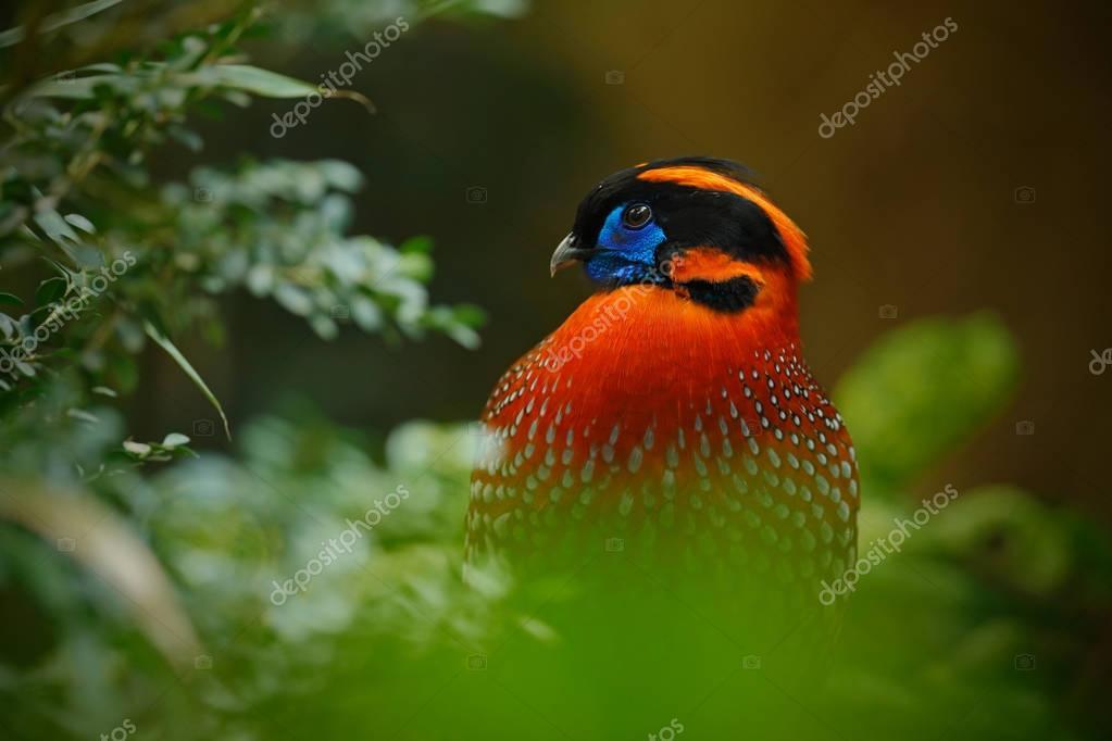 Exotic Tragopan bird from Asia