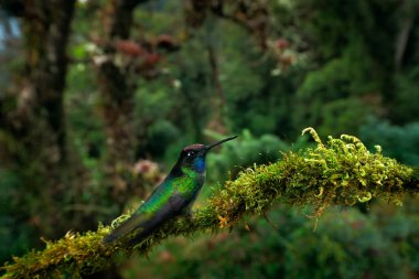 Magnificent Hummingbird on mossy branch