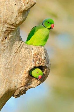 Nesting Rose-ringed Parakeets