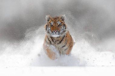 Amur tiger running in snow