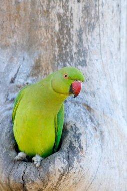 Nesting Rose-ringed Parakeet