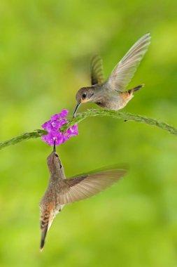 Hummingbirds Brown Violet-ear