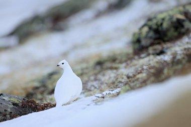 Rock Ptarmigan sitting on snow