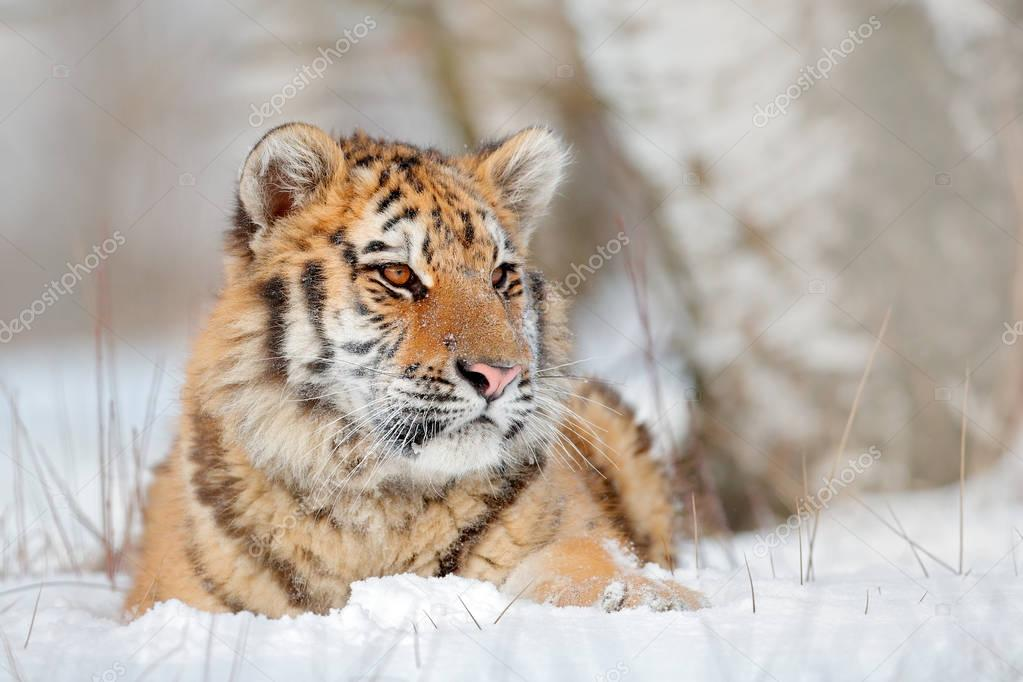 Amur tiger resting in snow