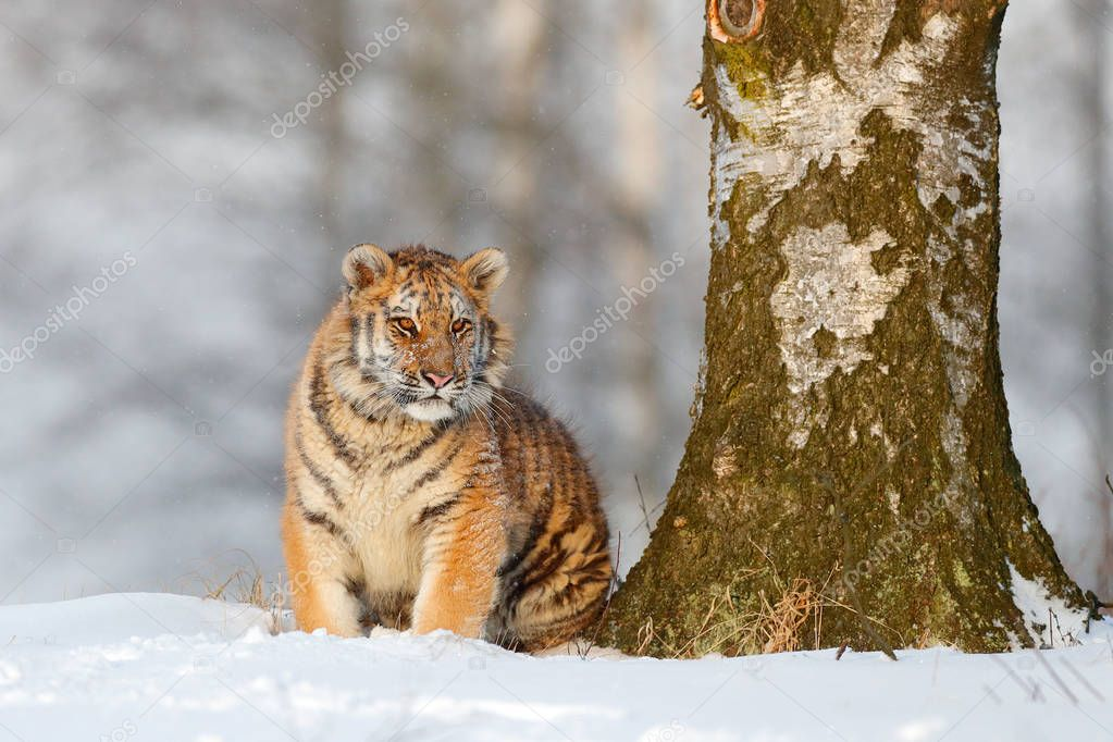 Amur tiger sitting in snow