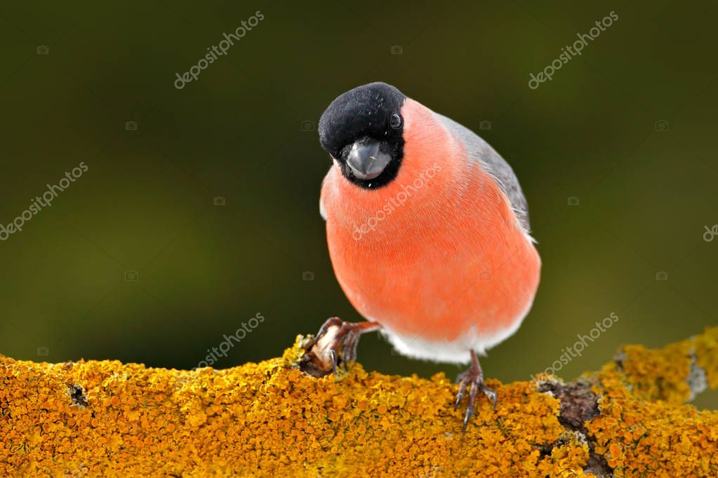 Bullfinch on mossy tree branch