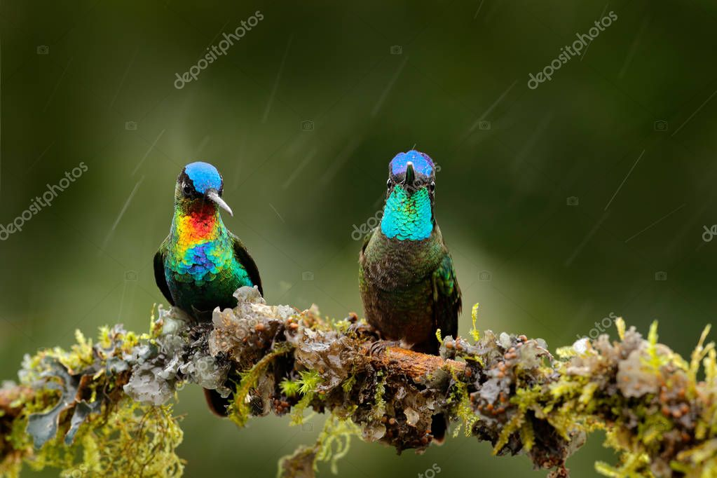 Fiery-throated Hummingbird and Magnificent Hummingbird