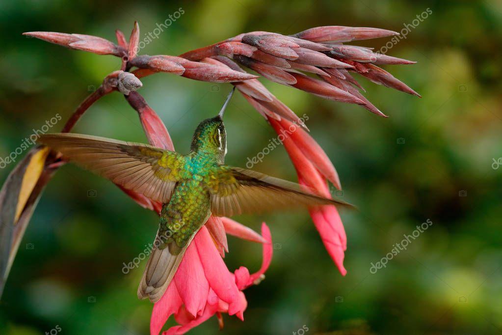 Magnificent Hummingbird feeding