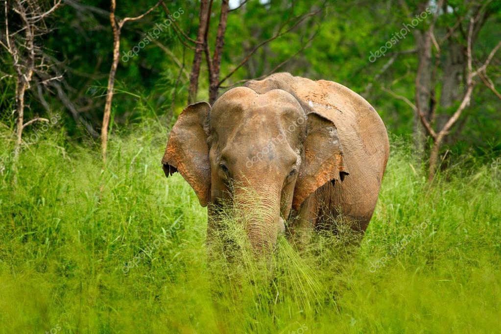 Asian Elephant in meadow