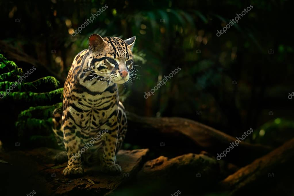 ocelot in tropical forest