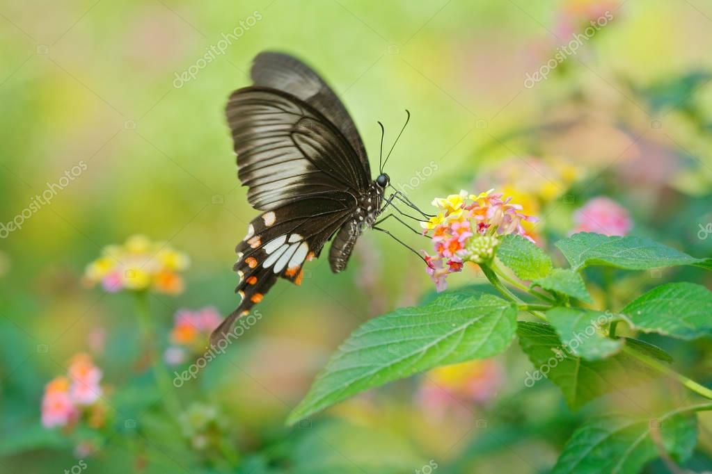 Butterfly Ceylon rose