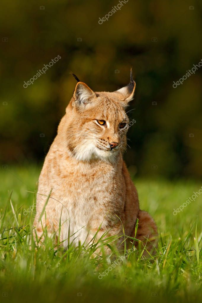 Eurasian Lynx in field