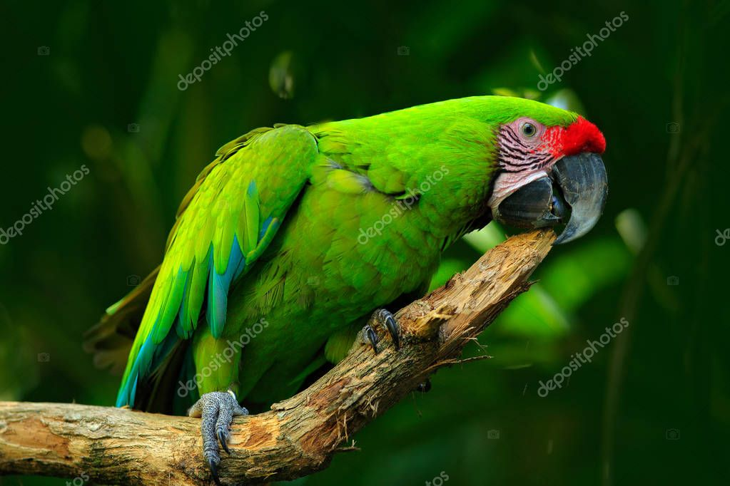 Great-Green Macaw