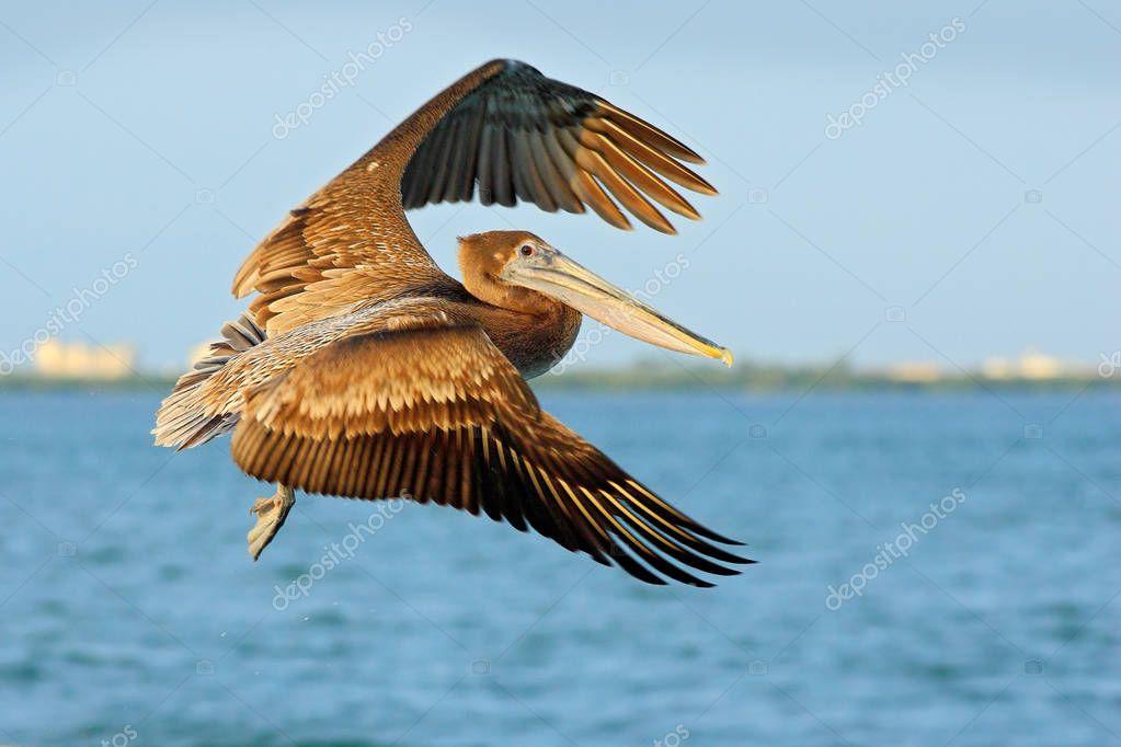 Action acrobatic scene with pelican
