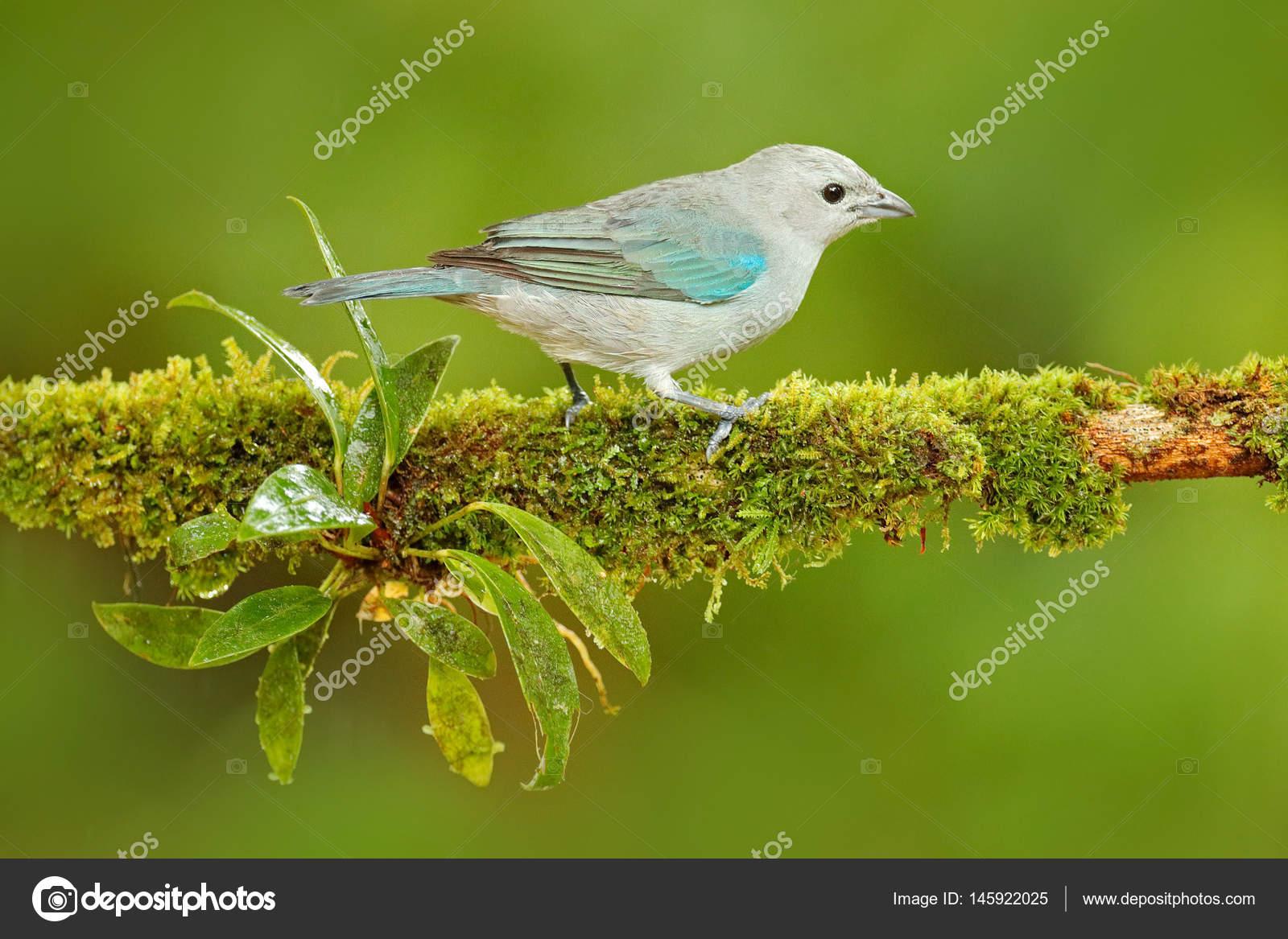 Top Pássaro de Sanhaço cinza-azul — Stock Photo © OndrejProsicky  ZJ68