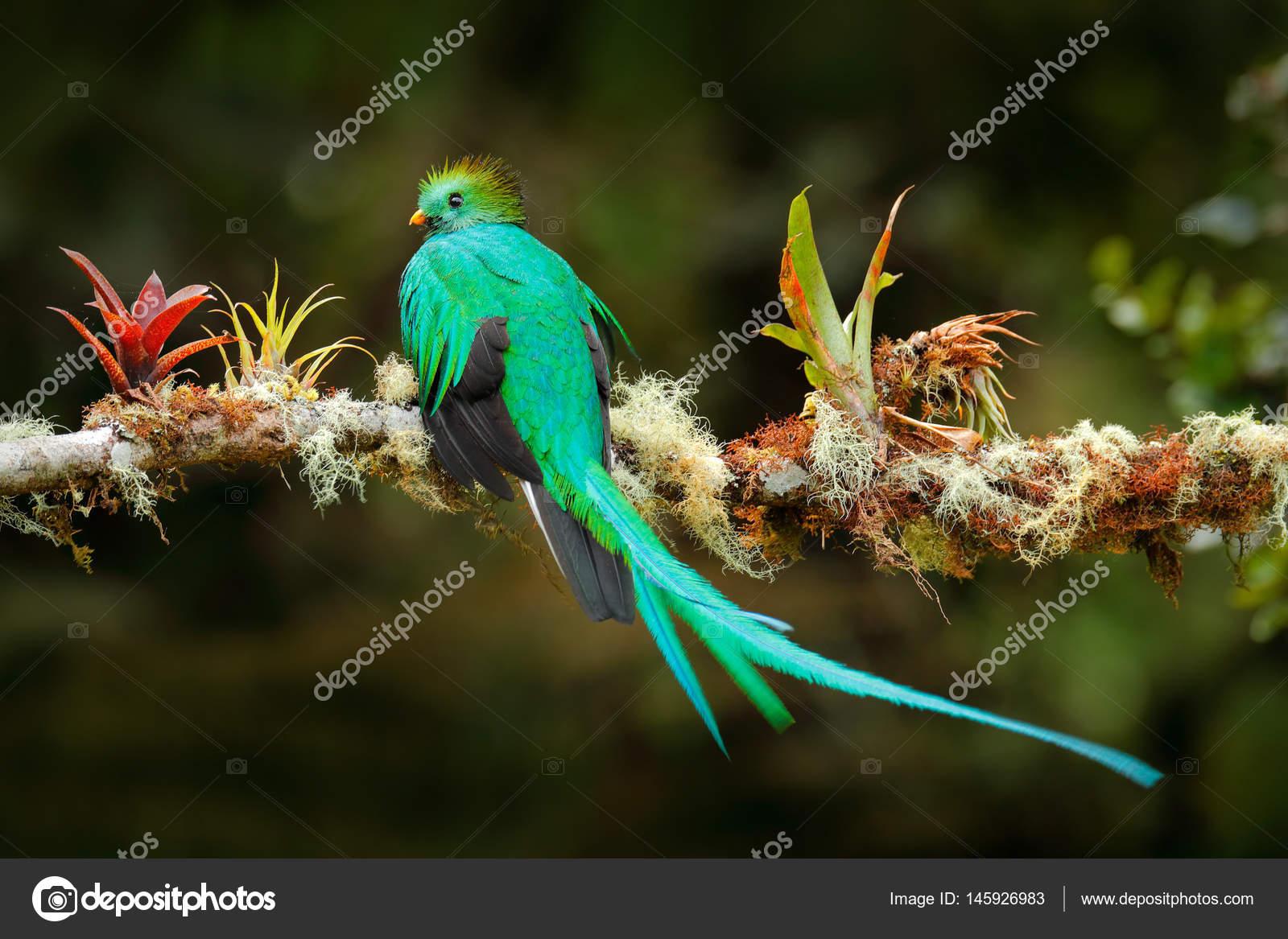 aves ex ticas con cola larga quetzal resplandeciente pharomachrus mocinno ave verde sagrada. Black Bedroom Furniture Sets. Home Design Ideas