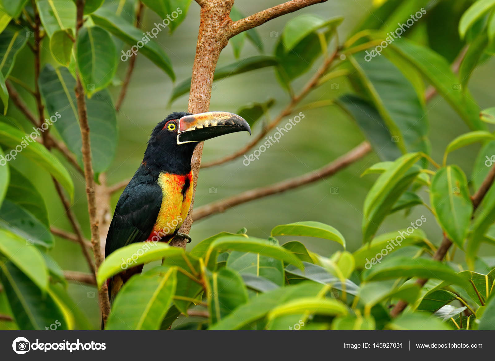μεγάλο πουλί Λατινικά
