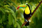 Photo Keel-billed Toucan, Ramphastos sulfuratus, bird with big bill. Toucan sitting on the branch in the forest, Boca Tapada, green vegetation, Costa Rica. Nature travel in central America.