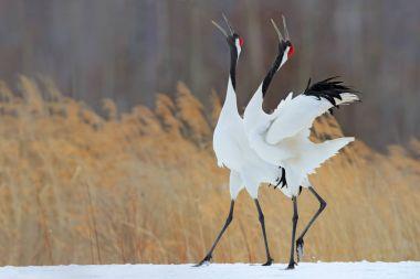 Dancing pair of Red-crowned cranes