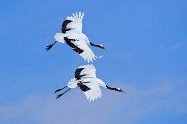 Flying White Red-crowned cranes