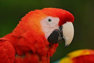 Parrot Scarlet Macaw