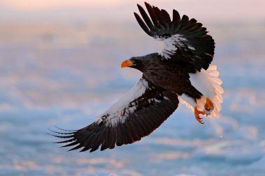 Eagle flying above sea