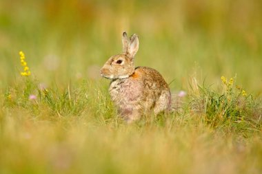 European rabbit in grass