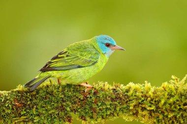 Female of Blue Dacnis bird