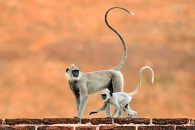 Wildlife of Sri Lankaure habitat, Sri Lanka. Urban wildlife. Monkey with long tail.