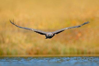 Eagle fly above lake