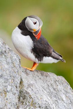Sea bird from Icelland