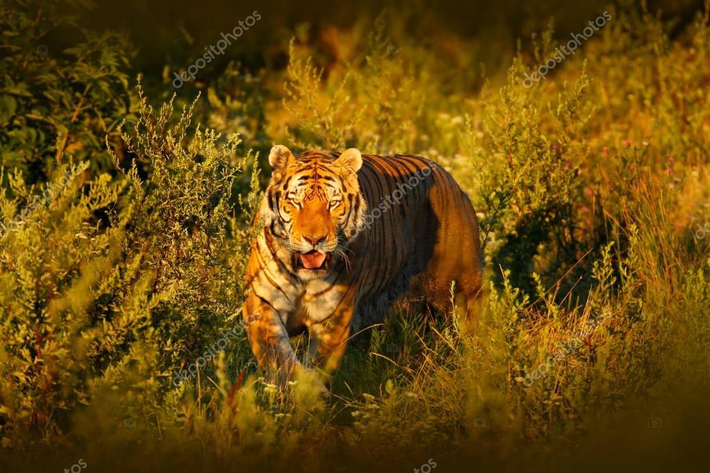 Siberian tiger in beautiful evening sun.