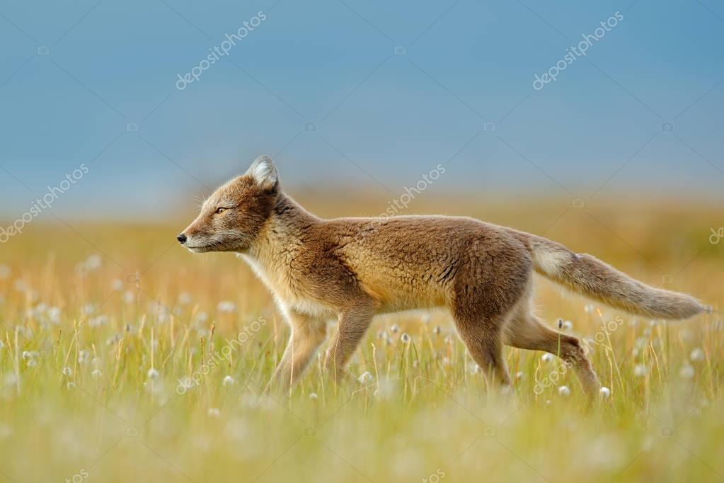 Fox in grass meadow