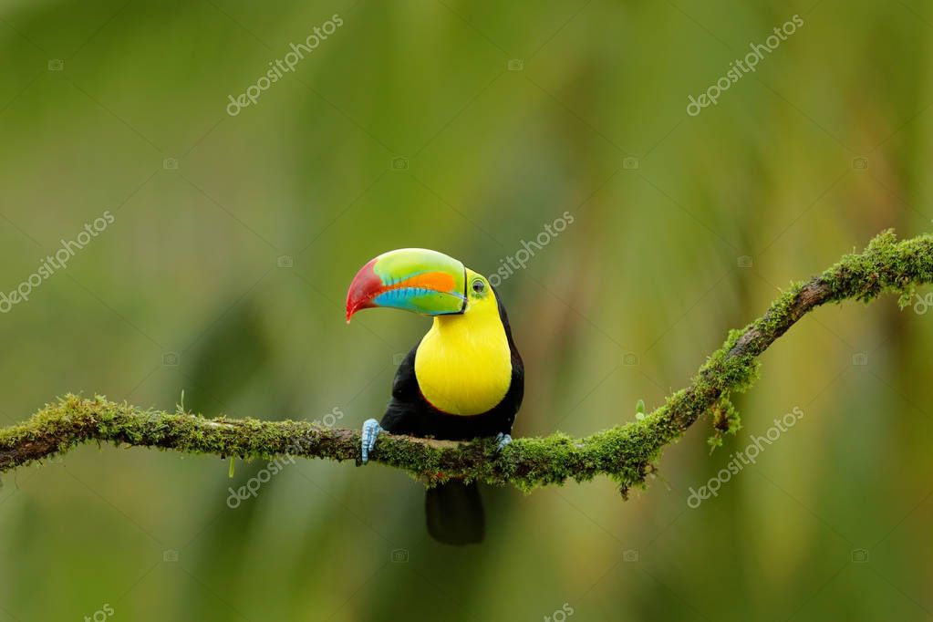 Keel-billed Toucan bird