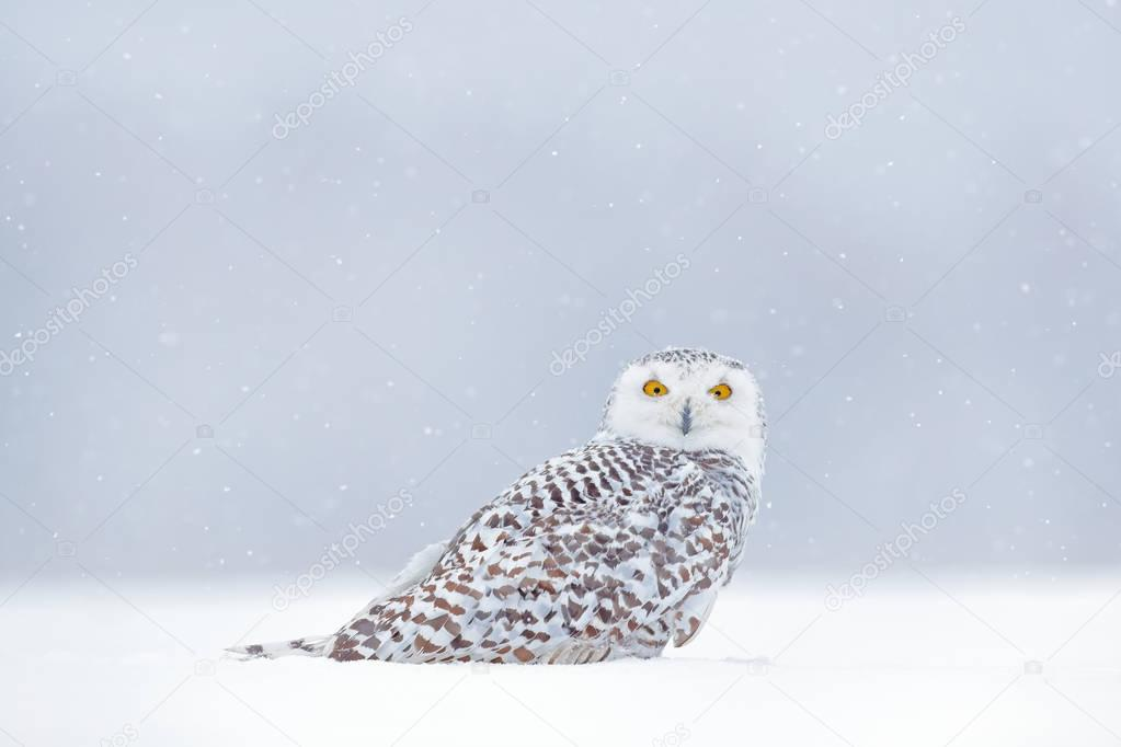 Winter scene with white owl