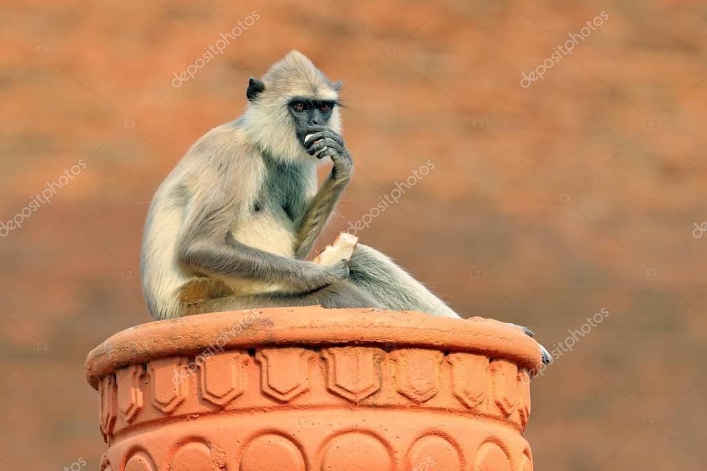 Common Langur monkey