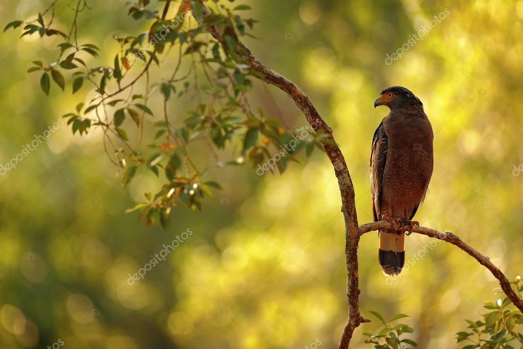 Sri lankan eagle