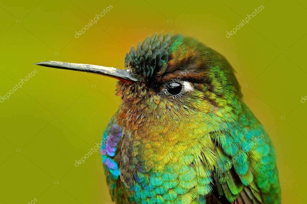 Fiery throated Hummingbird