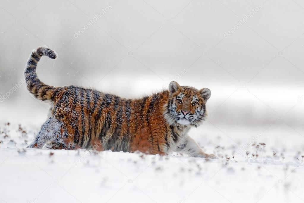 Siberian tiger in snow forest