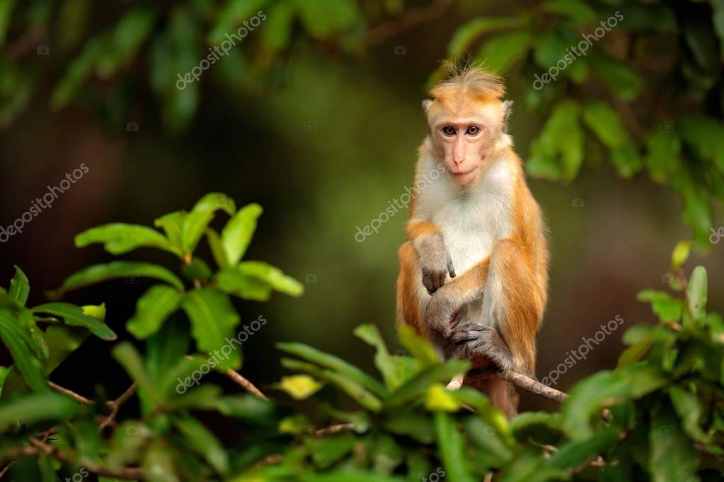 Macaque in nature habitat
