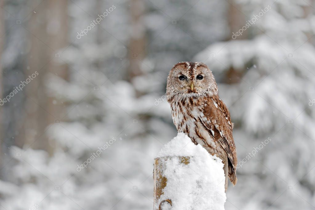 Tawny Owl snow covered