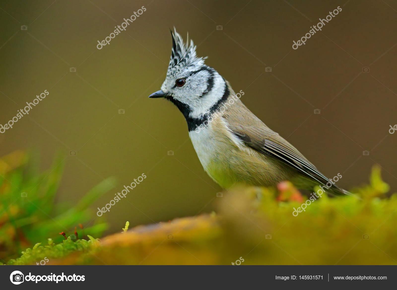Синяя птица синица поет песню весной на ветви цветущей вербы.