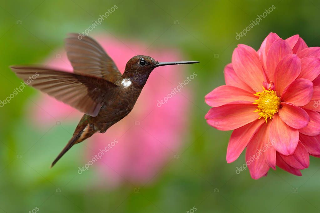 Hummingbird Brown Inca bird