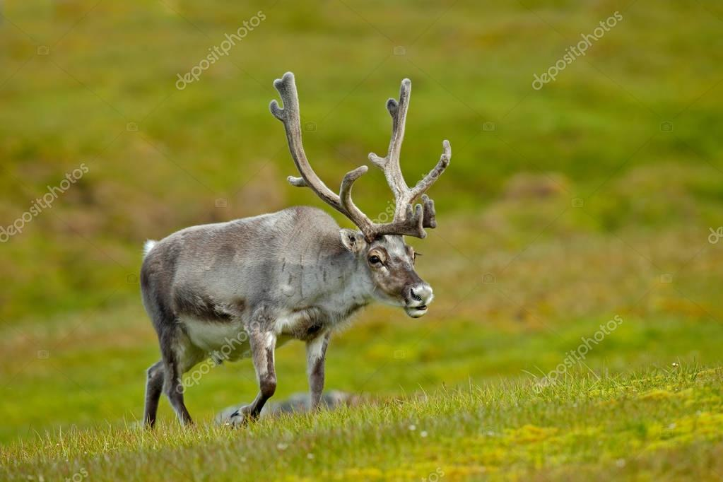Reindeer with massive antlers