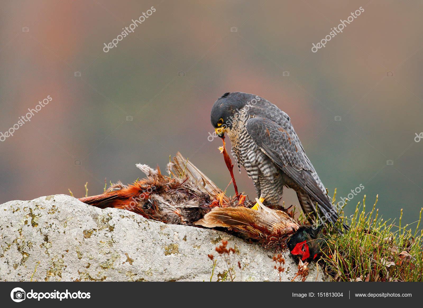 ave de caça falcão peregrino stock photo ondrejprosicky 151813004