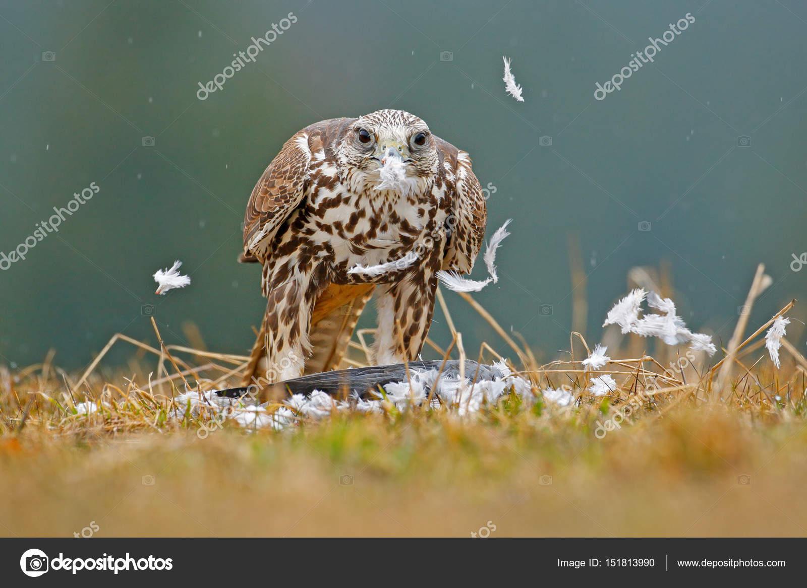 Lanner Falcon Mit Haken Vogel Stockfoto Ondrejprosicky 151813990