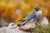 Sokol stěhovavý pták lov