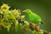 Photo Female of Green Honeycreeper