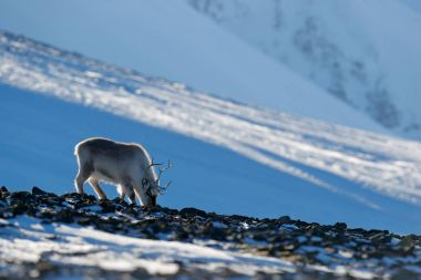 Winter landscape with reindeer